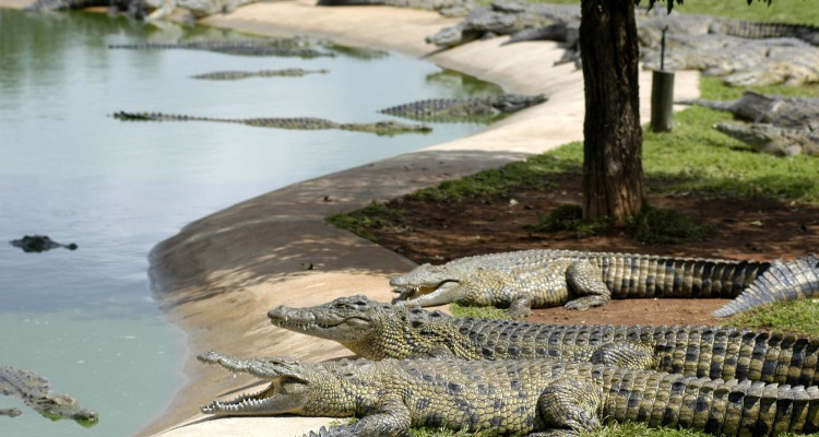 CROCODILE FARMING
