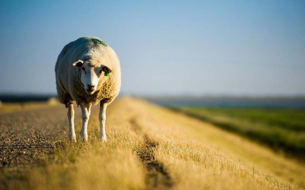 你是不敢掉队的绵羊吗?