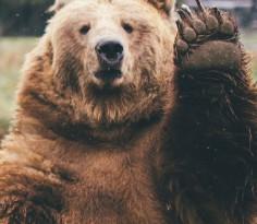 bear-wave